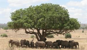 Elefanten, Tarangire