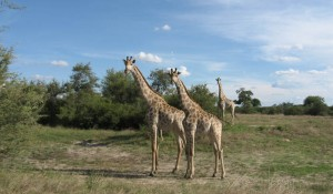 Giraffen, Hwange-Nationalpark